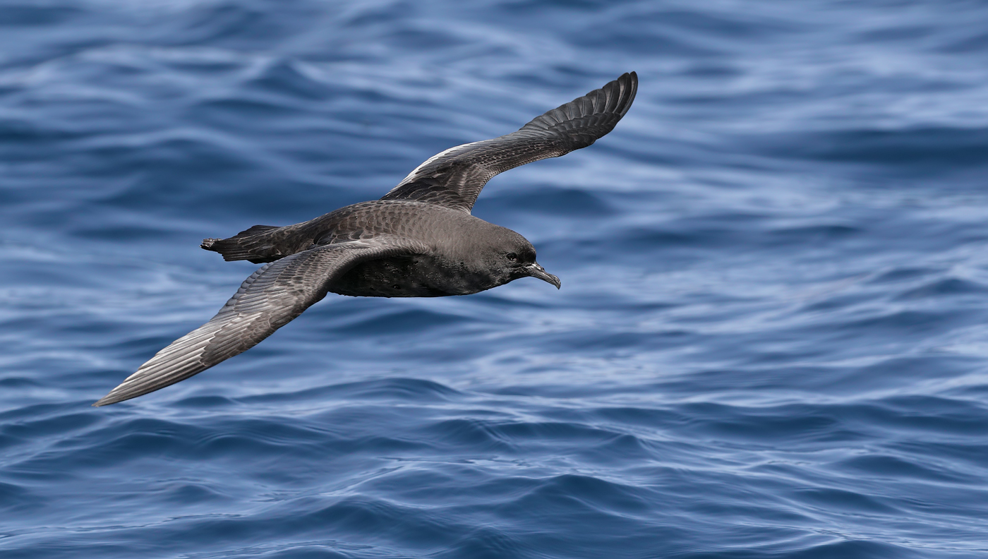 Short-tailed Shearwater (Image ID 35190)