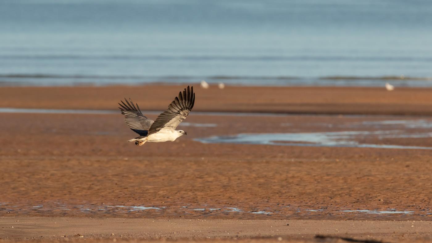 White-bellied Sea-Eagle (Image ID 35699)