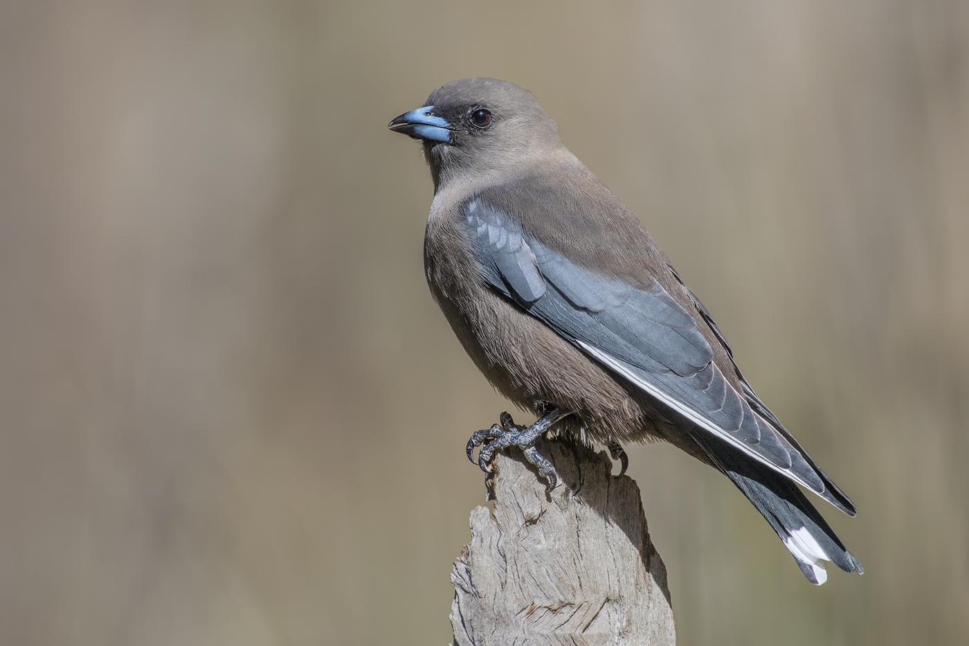 Dusky Woodswallow (Image ID 35696)