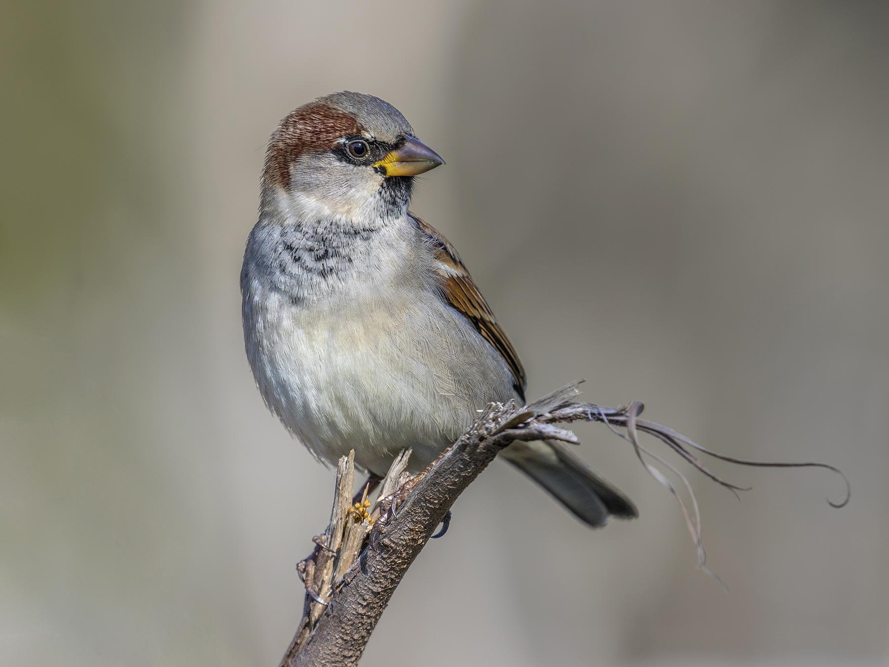 House Sparrow (Image ID 35781)
