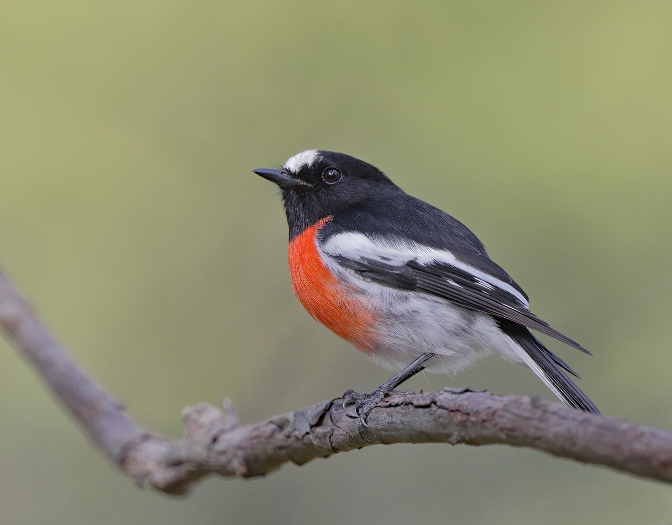 Scarlet Robin (Image ID 35847)