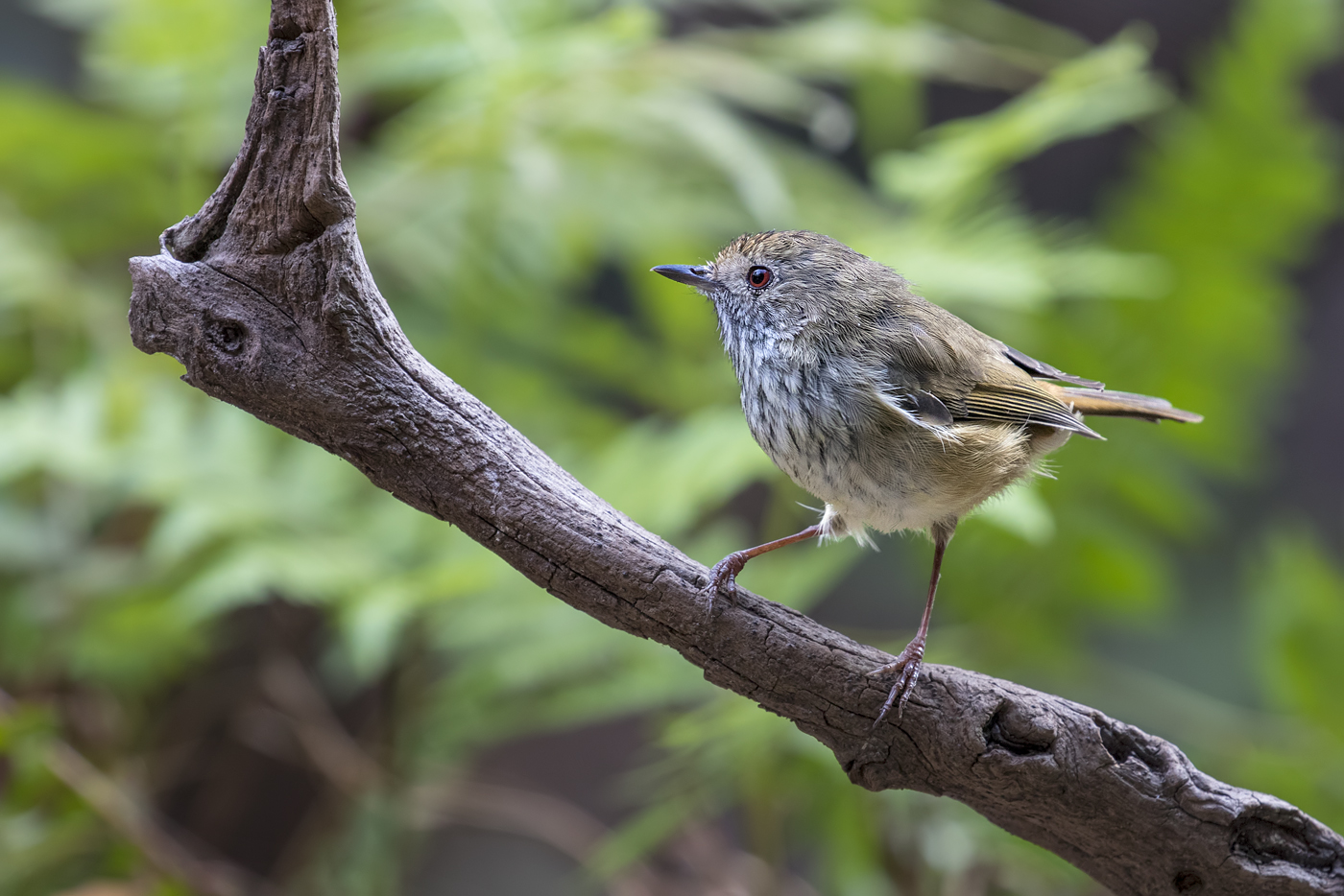 Brown Thornbill (Image ID 35694)