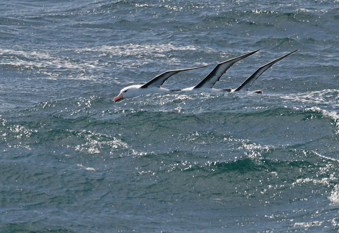Black-browed Albatross (Image ID 35563)