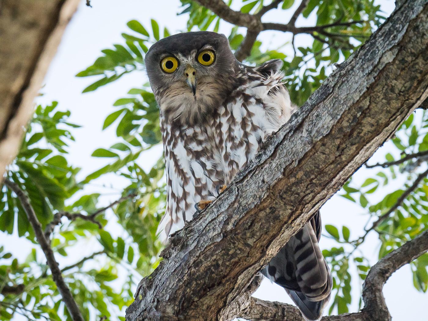 Barking Owl (Image ID 35819)