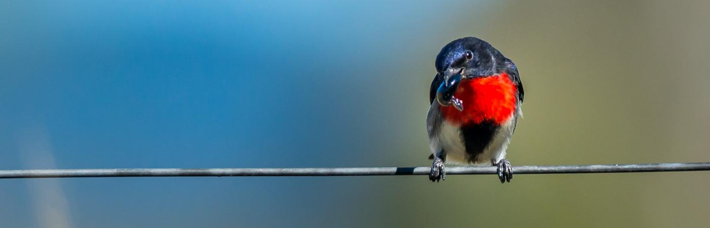 Mistletoebird (Image ID 35582)