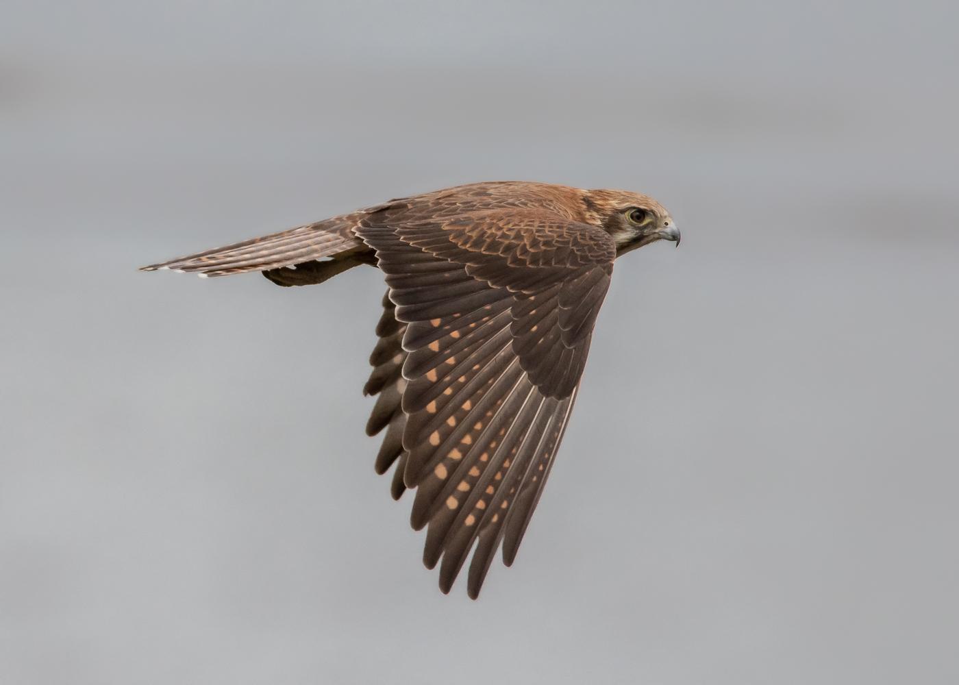 Brown Falcon (Image ID 35698)