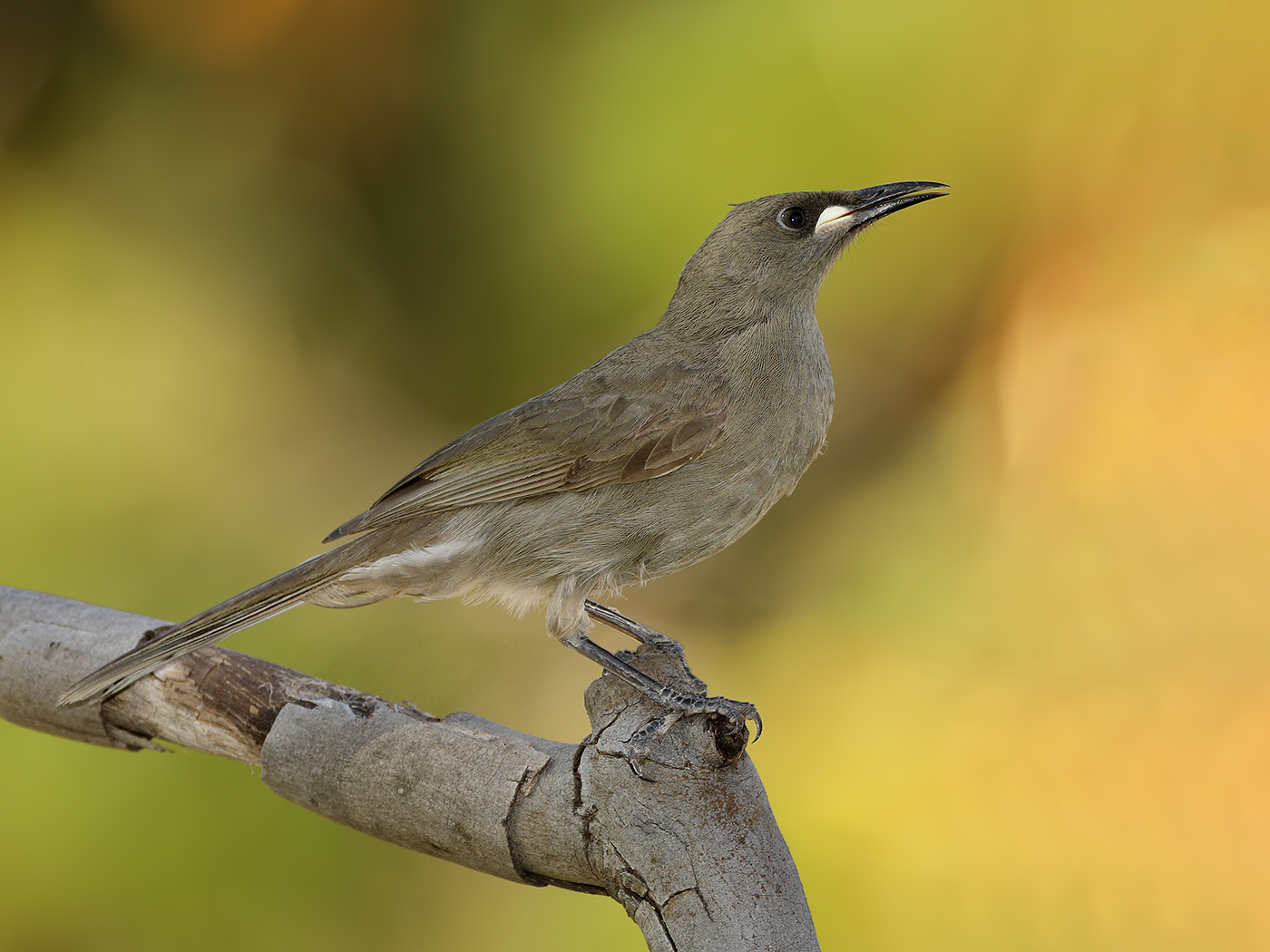 White-gaped Honeyeater (Image ID 35572)