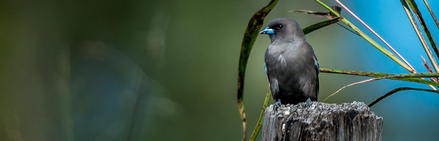 Dusky Woodswallow (Image ID 35583)