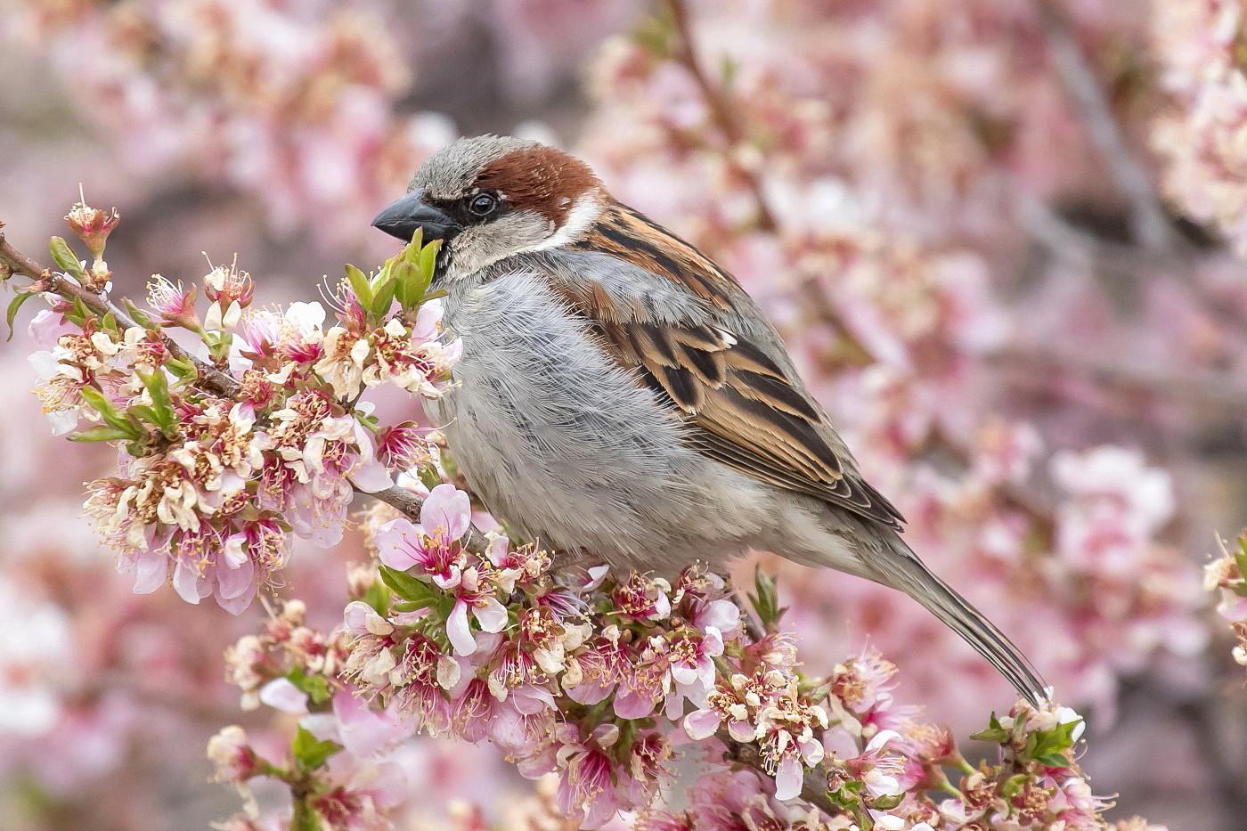 House Sparrow (Image ID 36026)