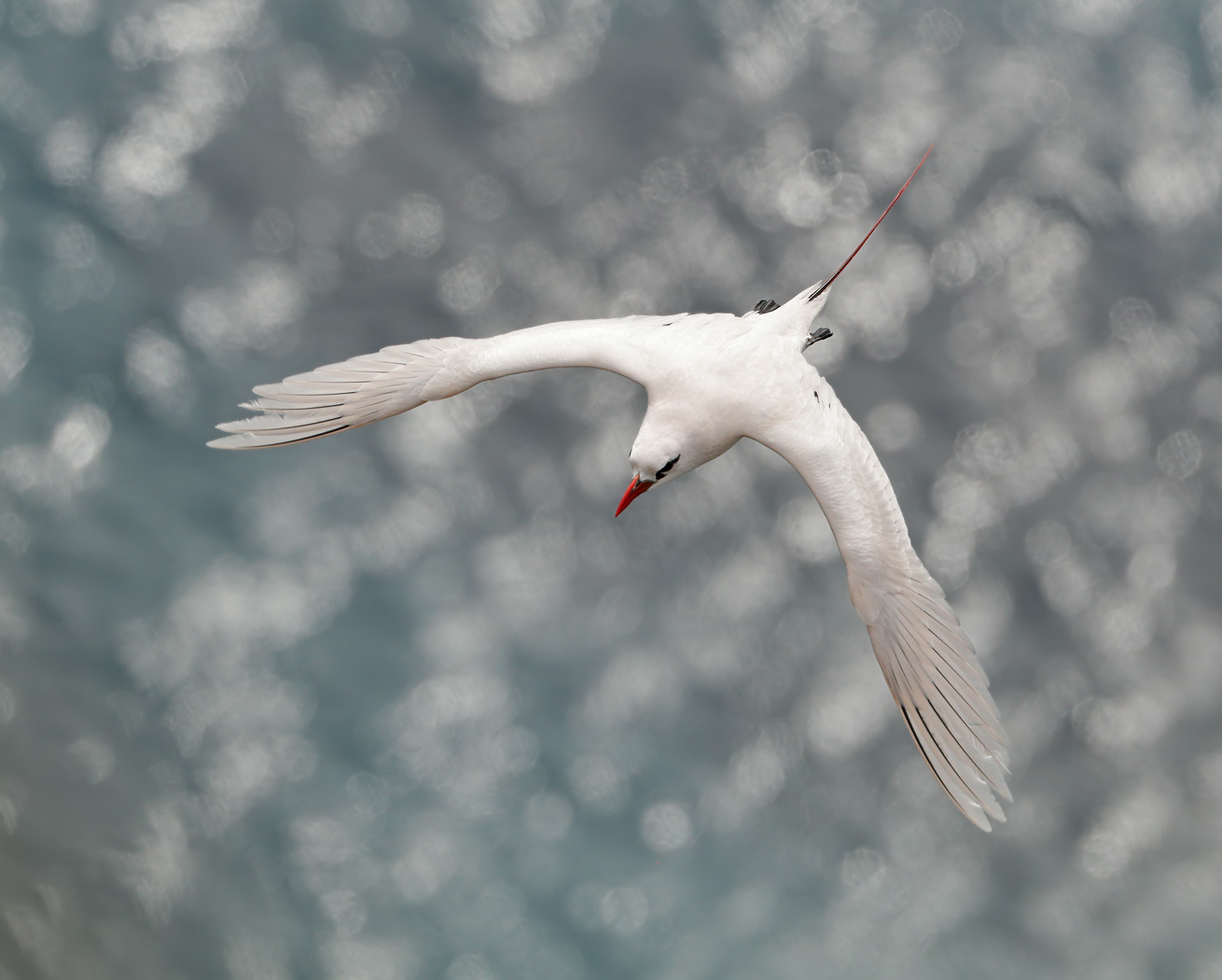 Red-tailed Tropicbird (Image ID 35977)