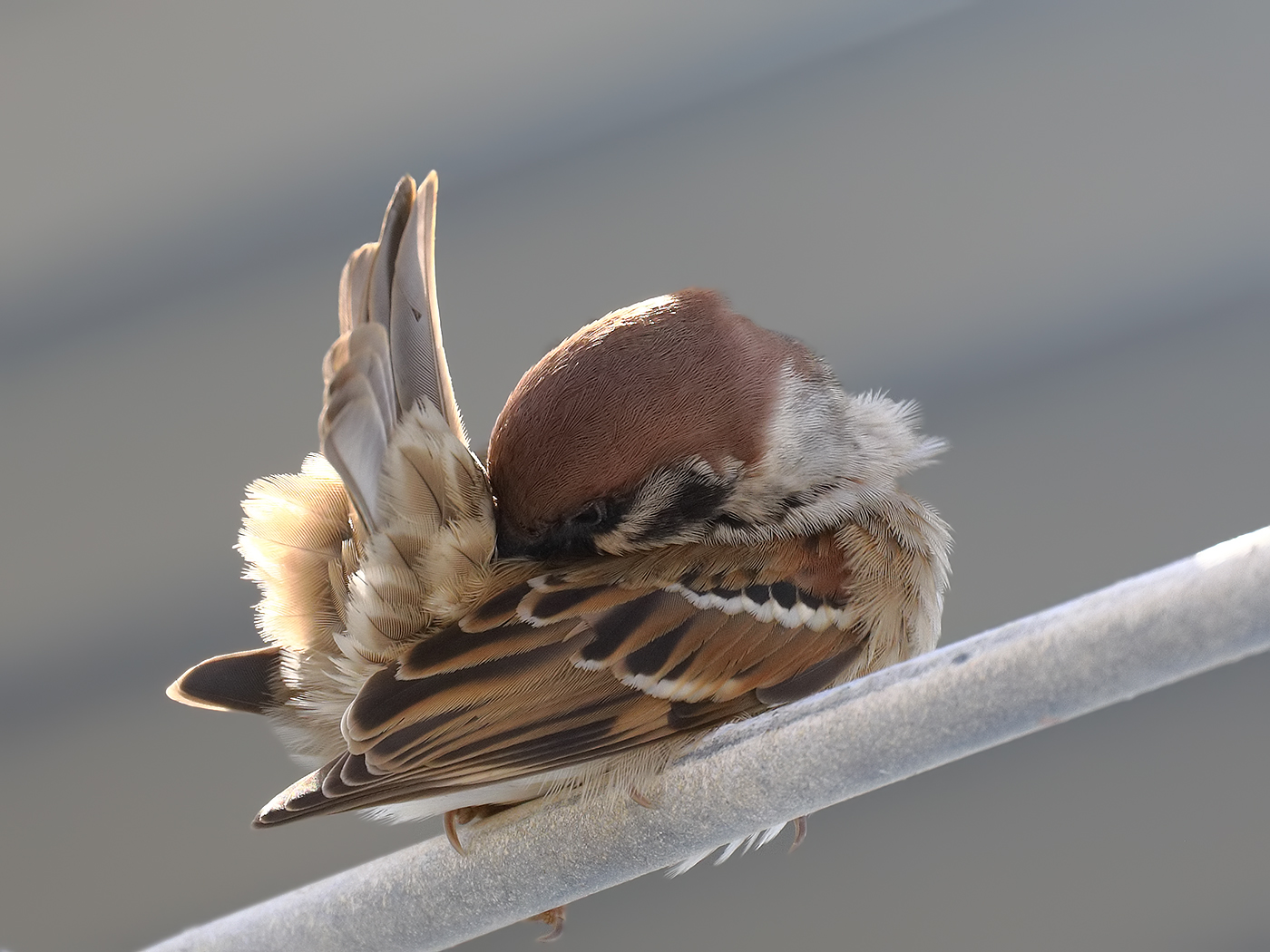 Eurasian Tree Sparrow (Image ID 36227)