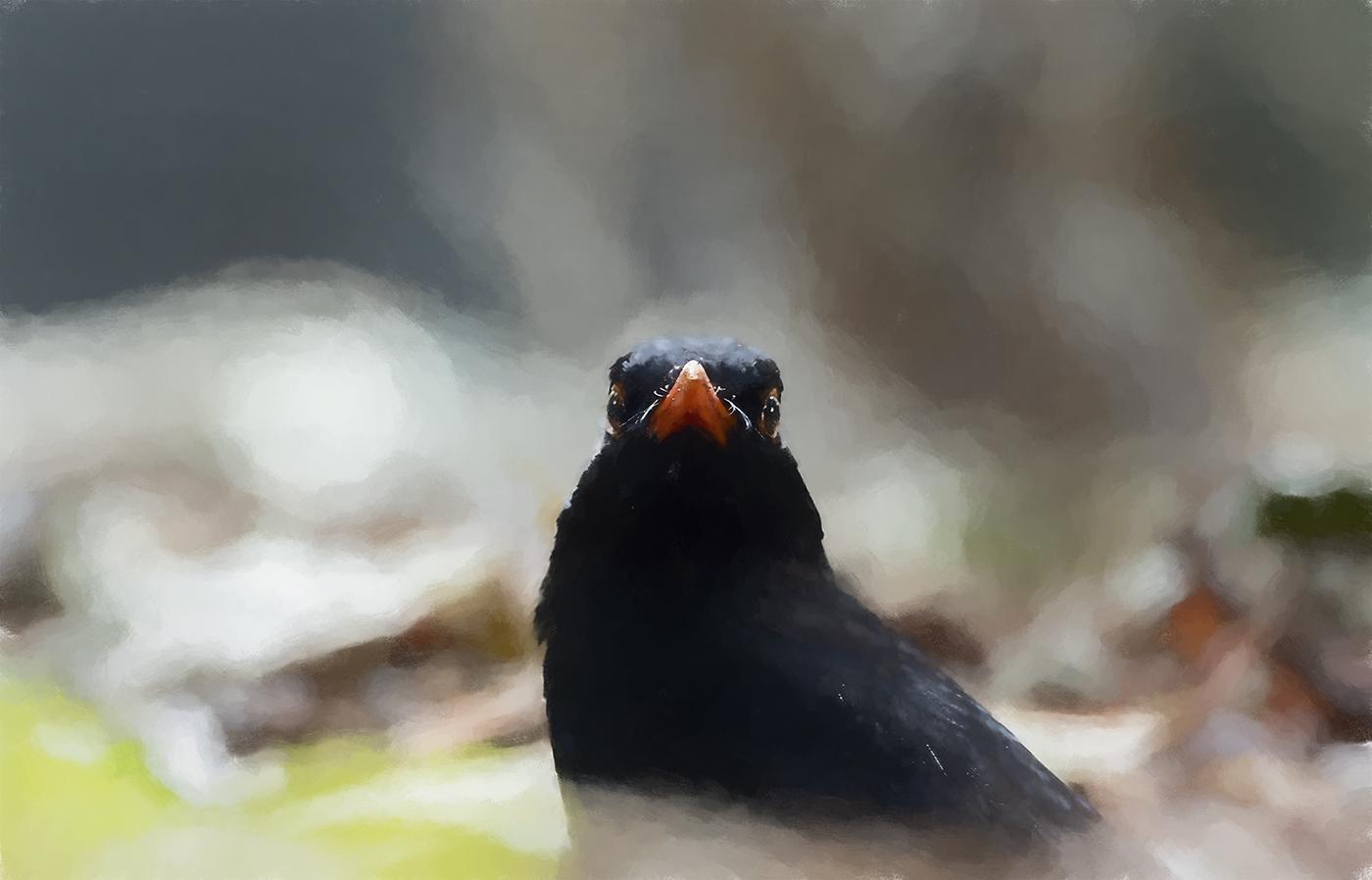 Common Blackbird (Image ID 36518)