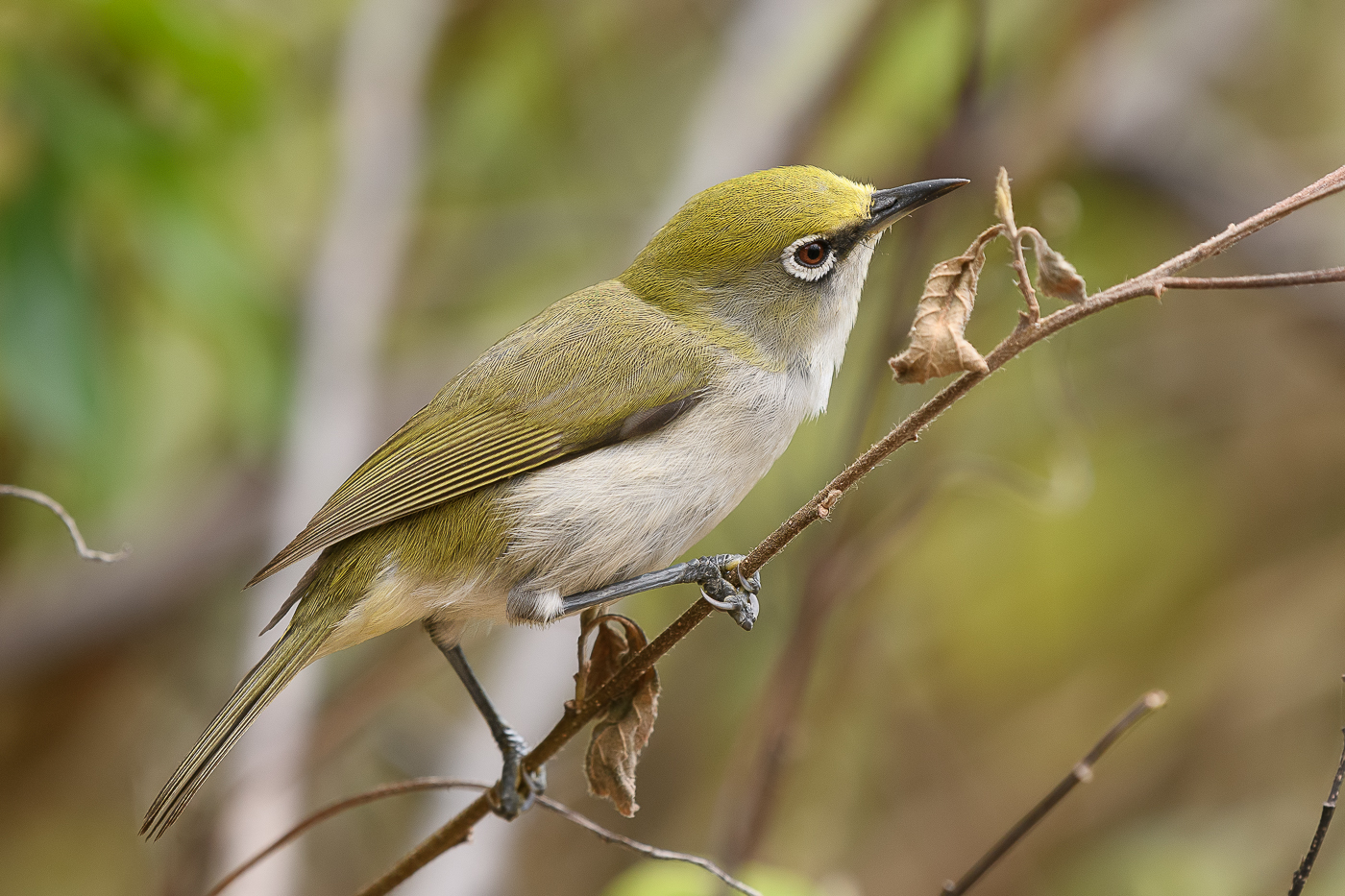 Christmas Island White-eye (Image ID 36638)