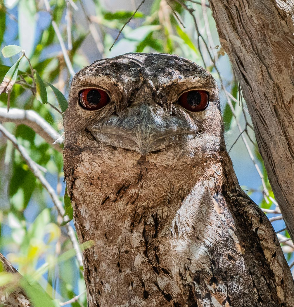 Papuan Frogmouth (Image ID 36614)