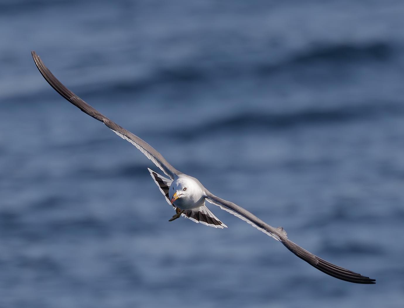 Black-tailed Gull (Image ID 36491)