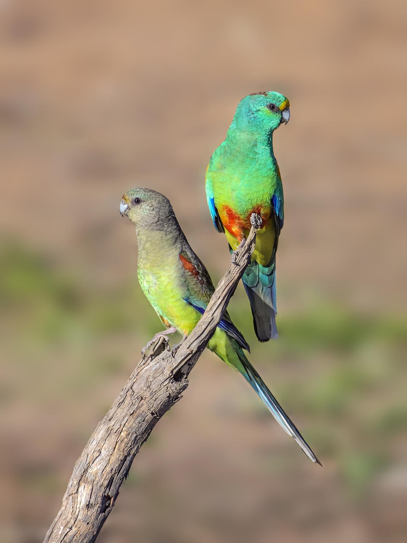 Mulga Parrot (Image ID 36538)