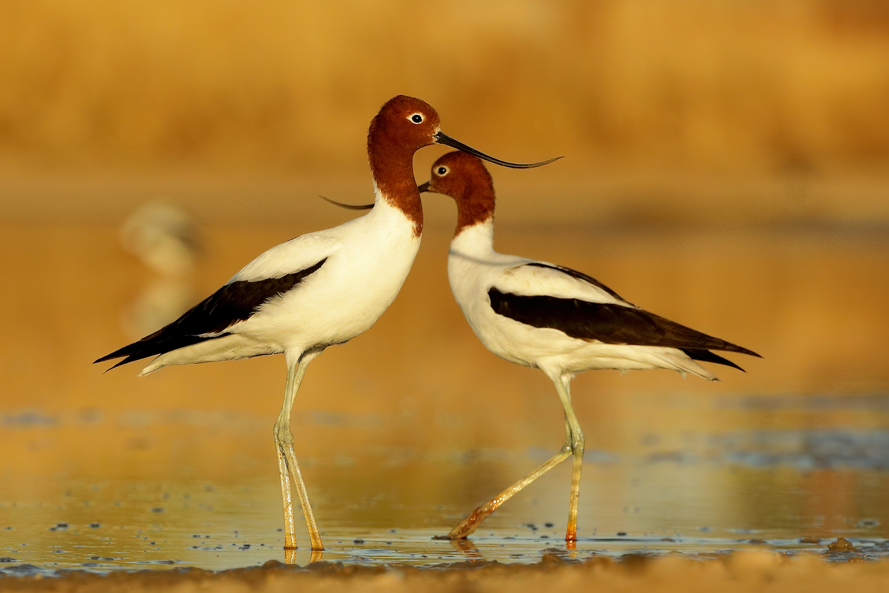 Red-necked Avocet (Image ID 36574)