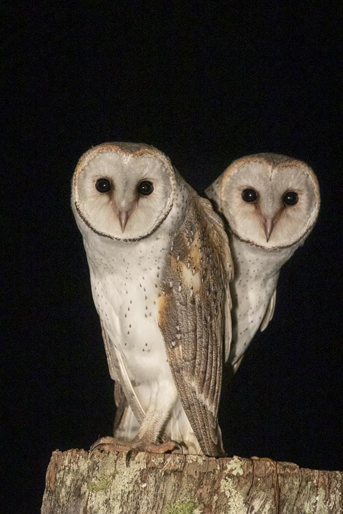 Barn Owl (Image ID 36767)