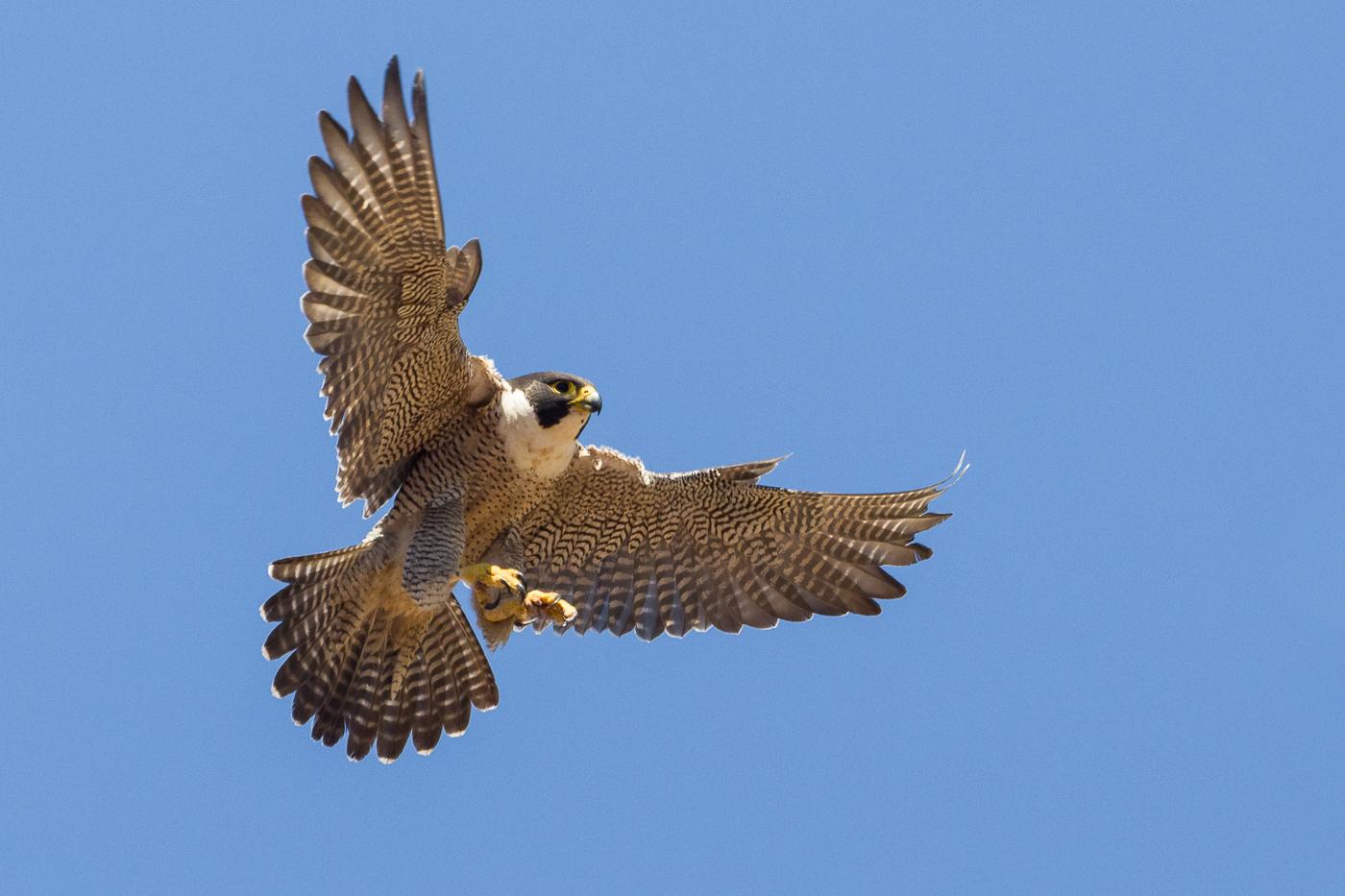 Peregrine Falcon (Image ID 37015)
