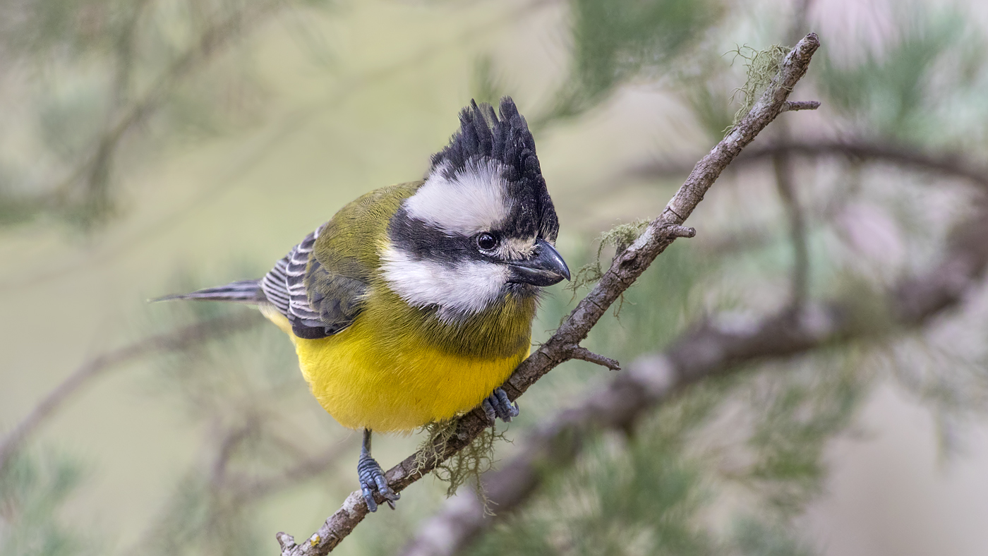 Crested Shrike-tit complex (Image ID 36686)