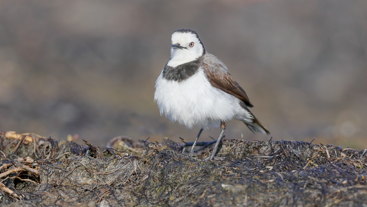 White-fronted Chat (Image ID 36824)