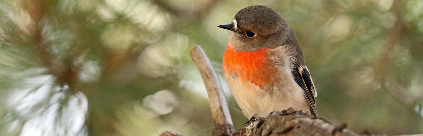Scarlet Robin complex (Image ID 37431)