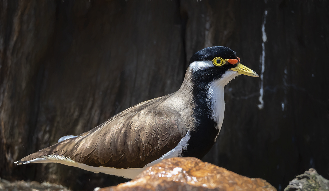 Banded Lapwing (Image ID 37153)