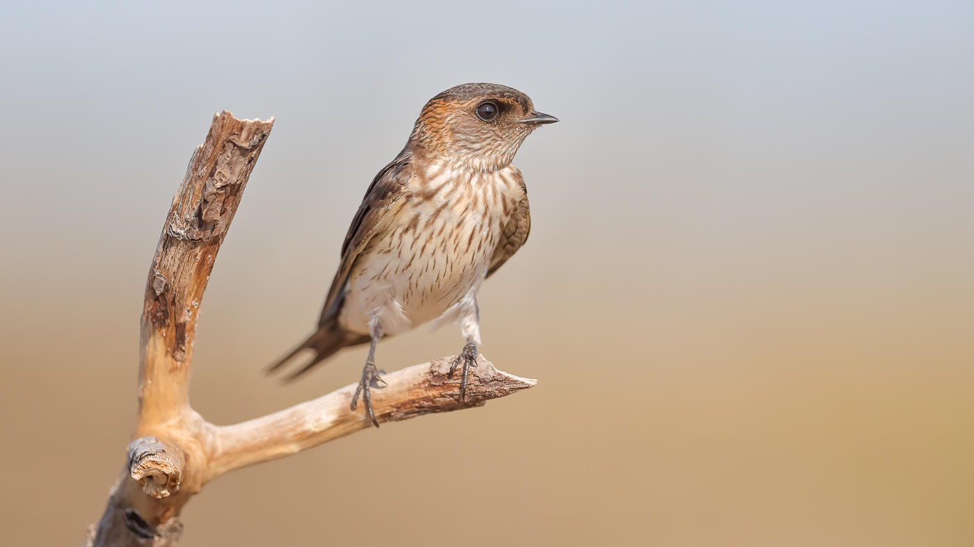 Red-rumped Swallow (Image ID 37277)