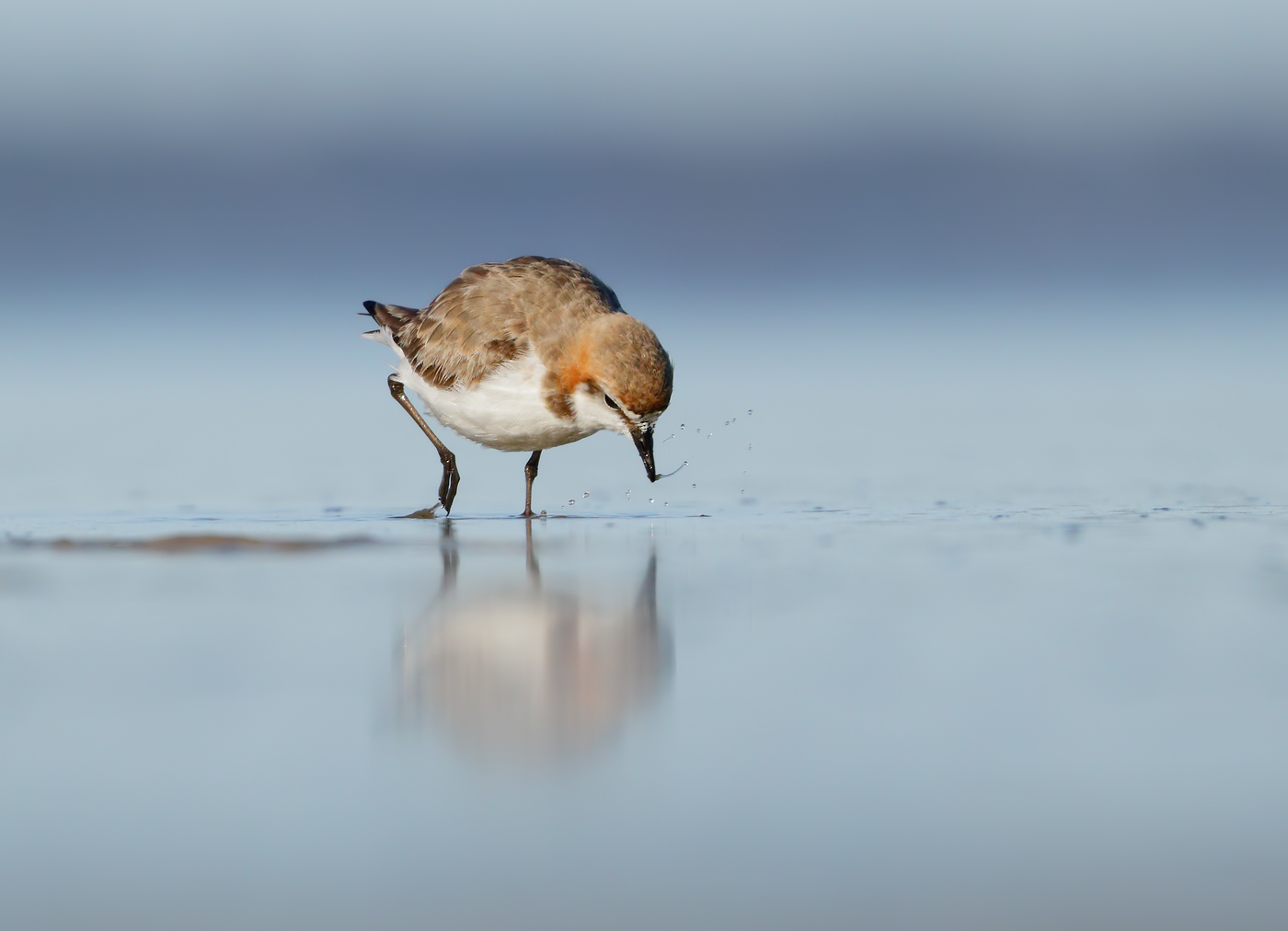 Red-capped Plover (Image ID 37300)