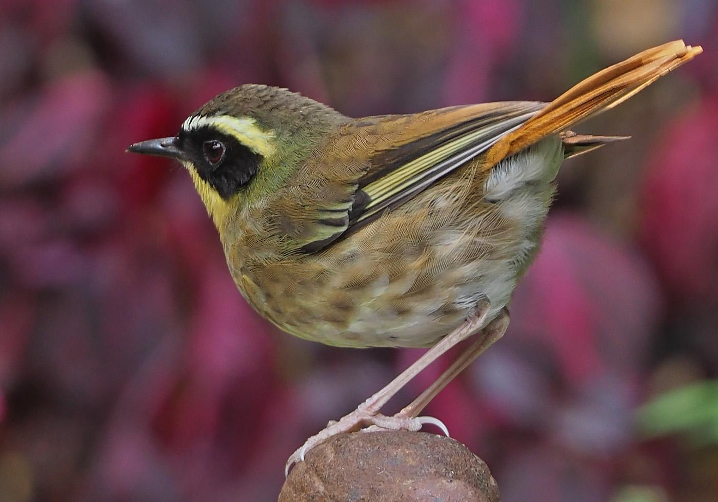 Yellow-throated Scrubwren (Image ID 37297)