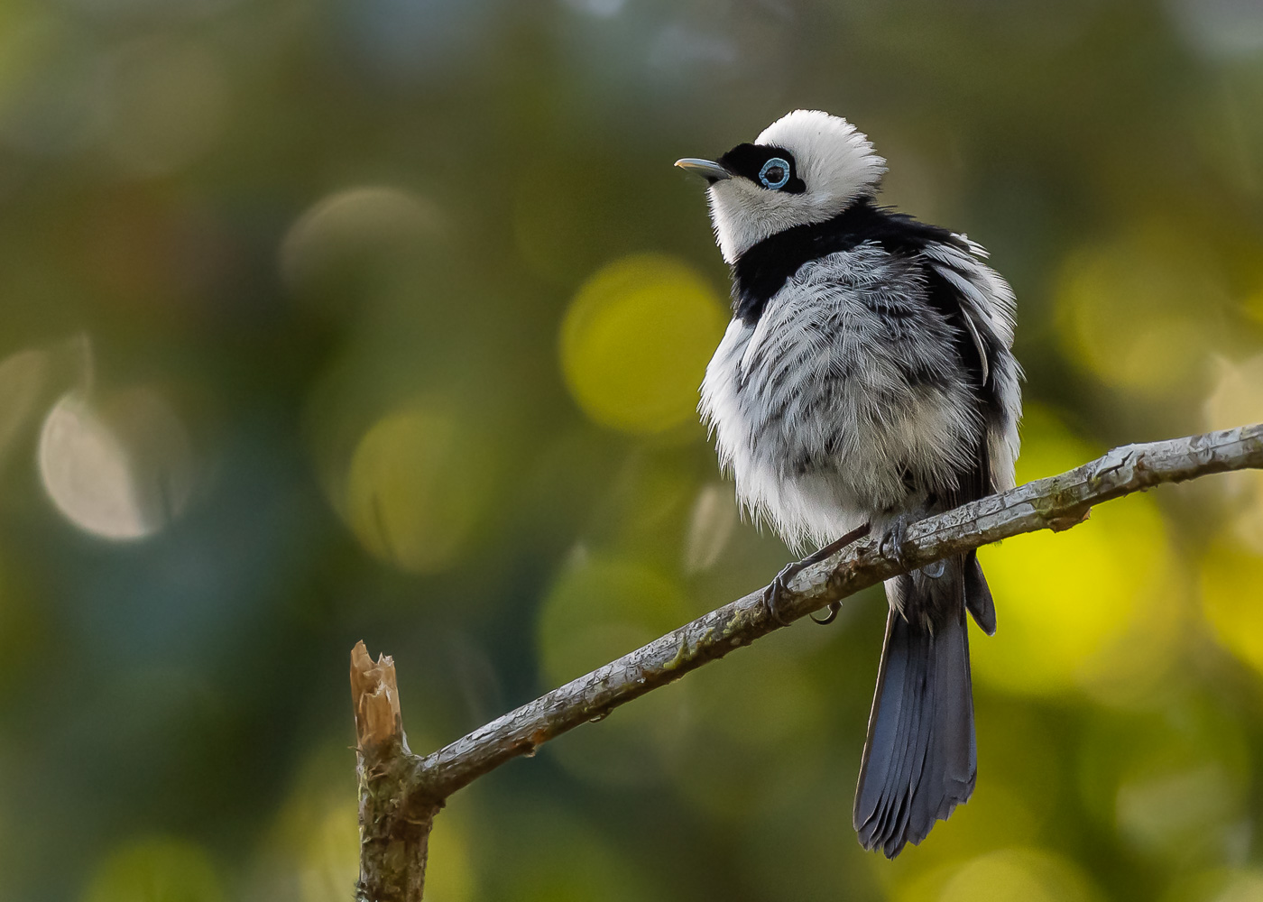 Pied Monarch (Image ID 37238)