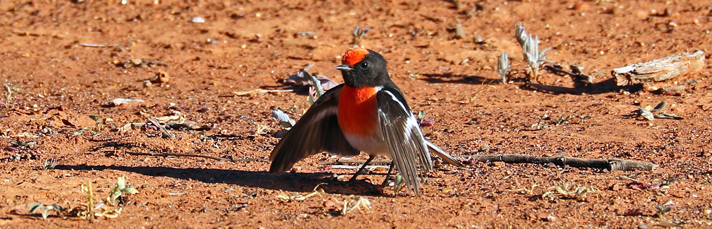Red-capped Robin (Image ID 37483)