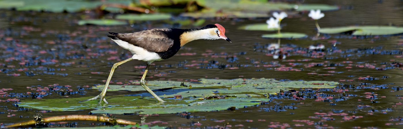 Comb-crested Jacana (Image ID 37675)