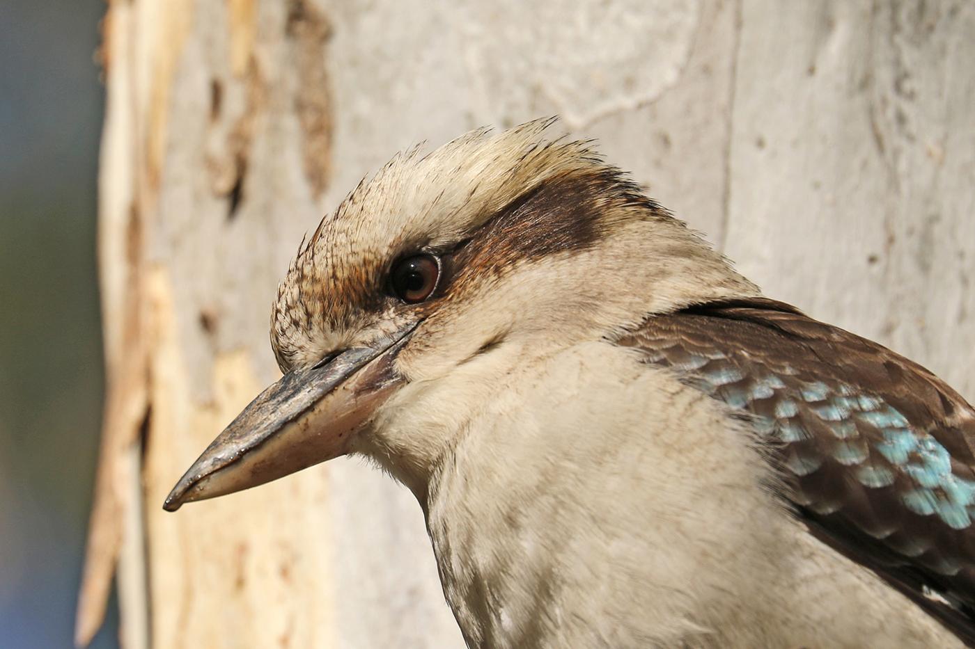 Laughing Kookaburra (Image ID 37455)