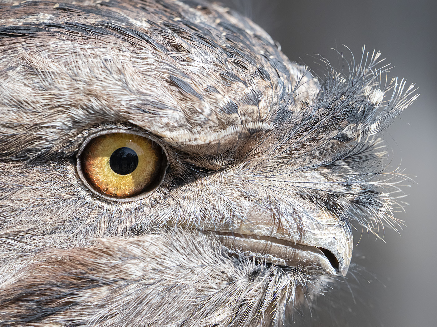 Tawny Frogmouth (Image ID 38188)