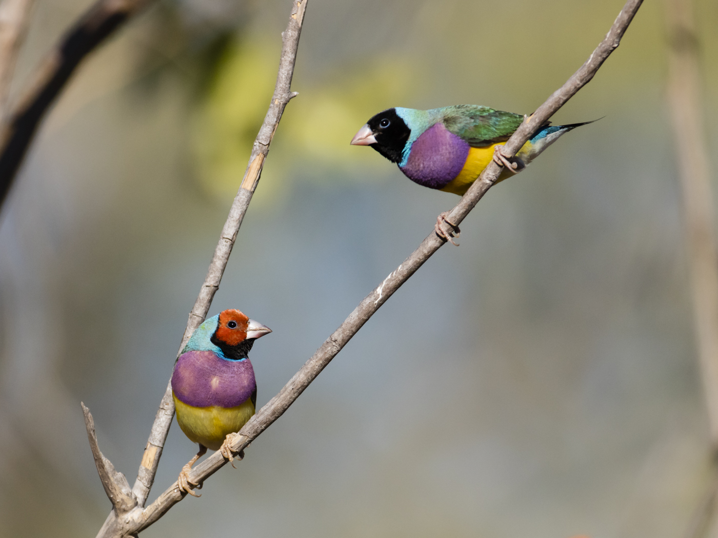 Gouldian Finch (Image ID 38143)