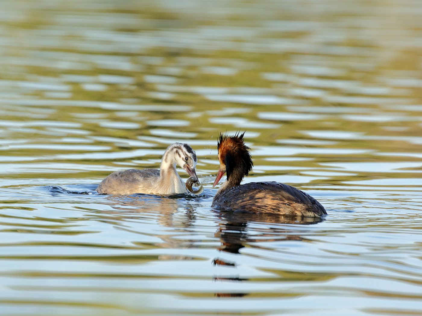 Great Crested Grebe (Image ID 38157)