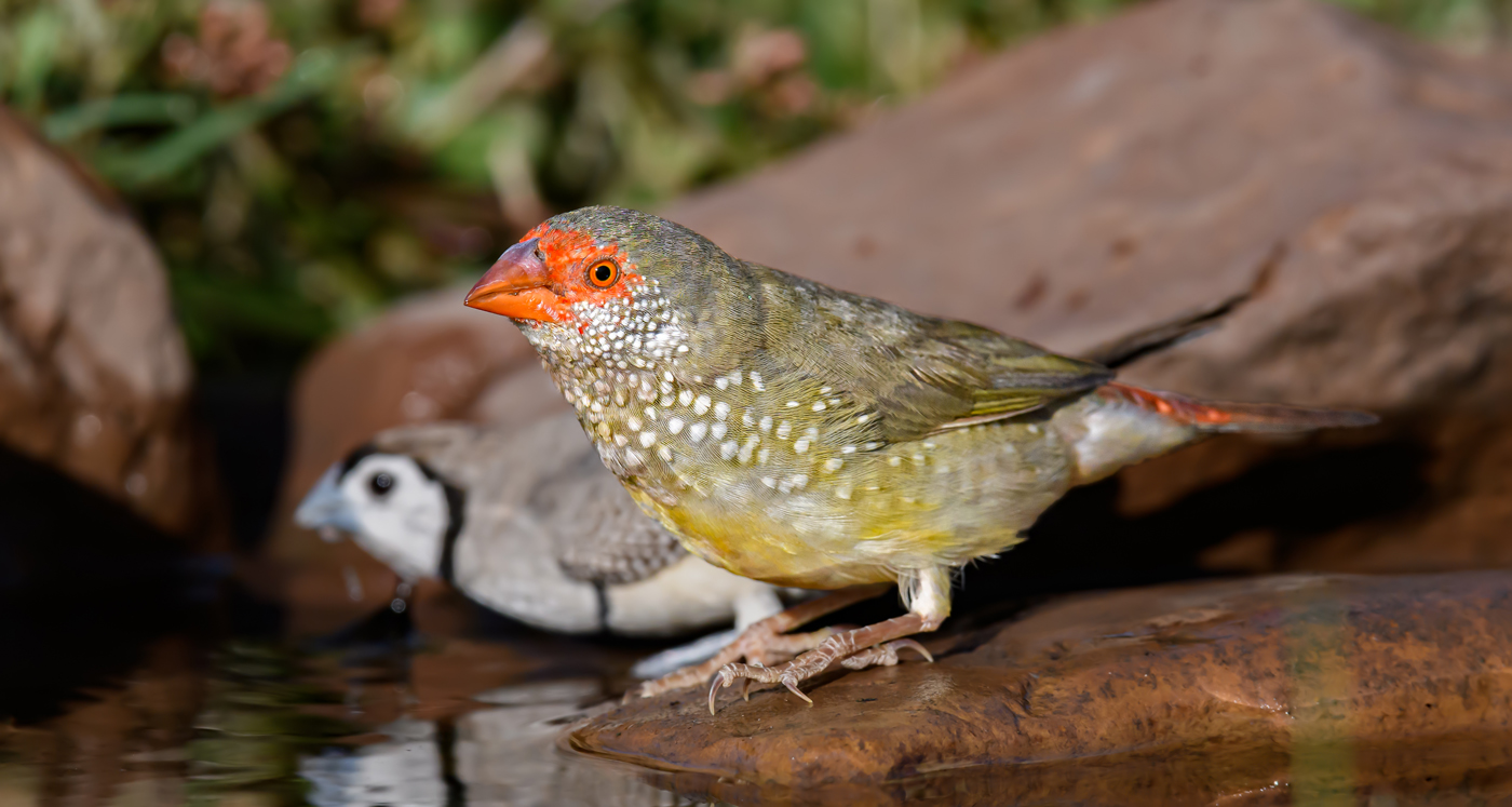 Star Finch (Image ID 38132)