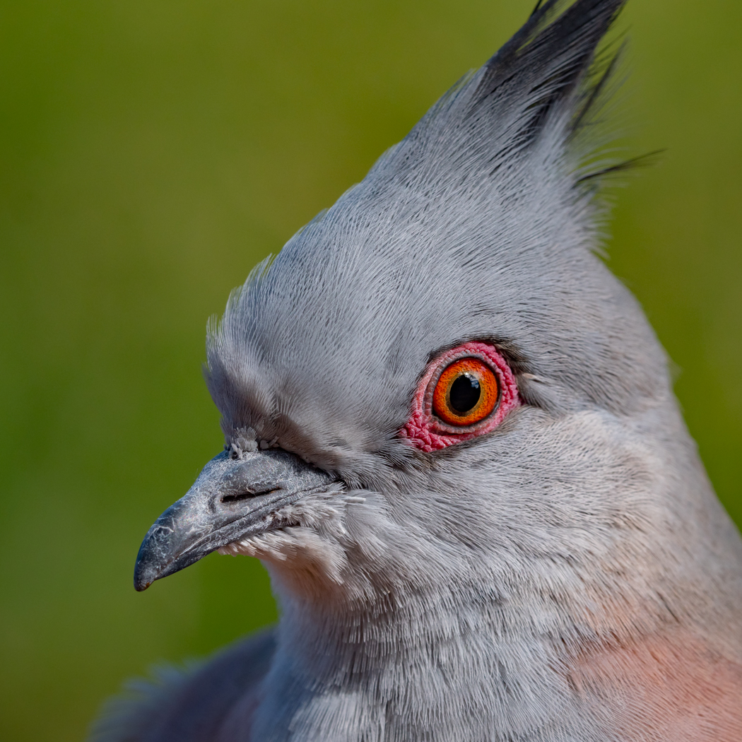 Crested Pigeon (Image ID 37999)