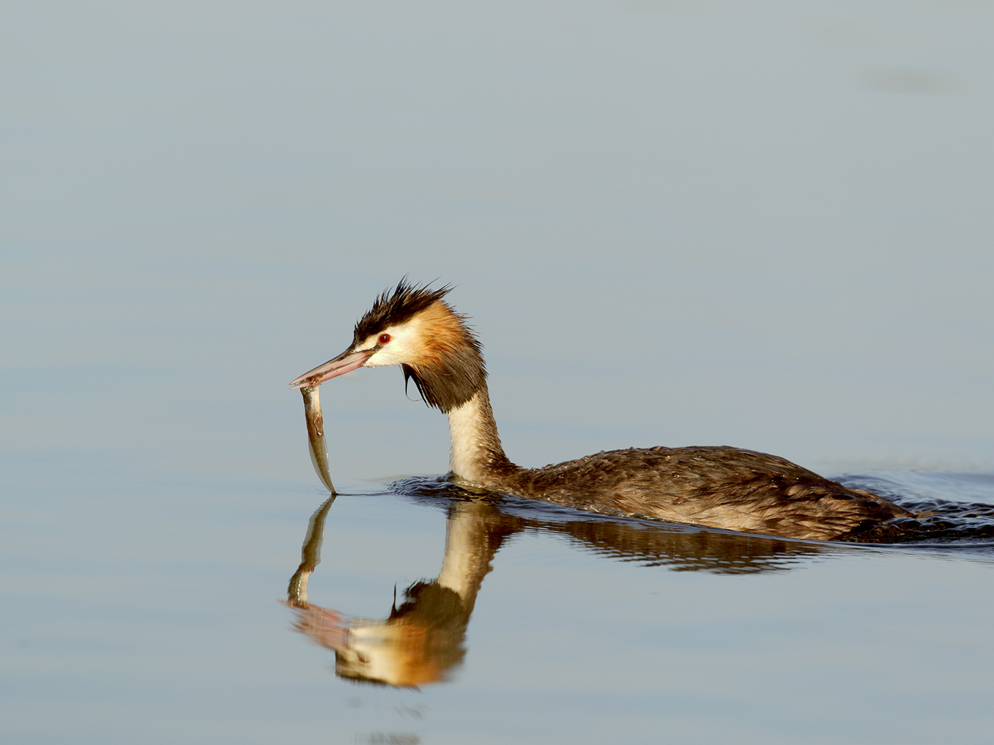 Great Crested Grebe (Image ID 38155)
