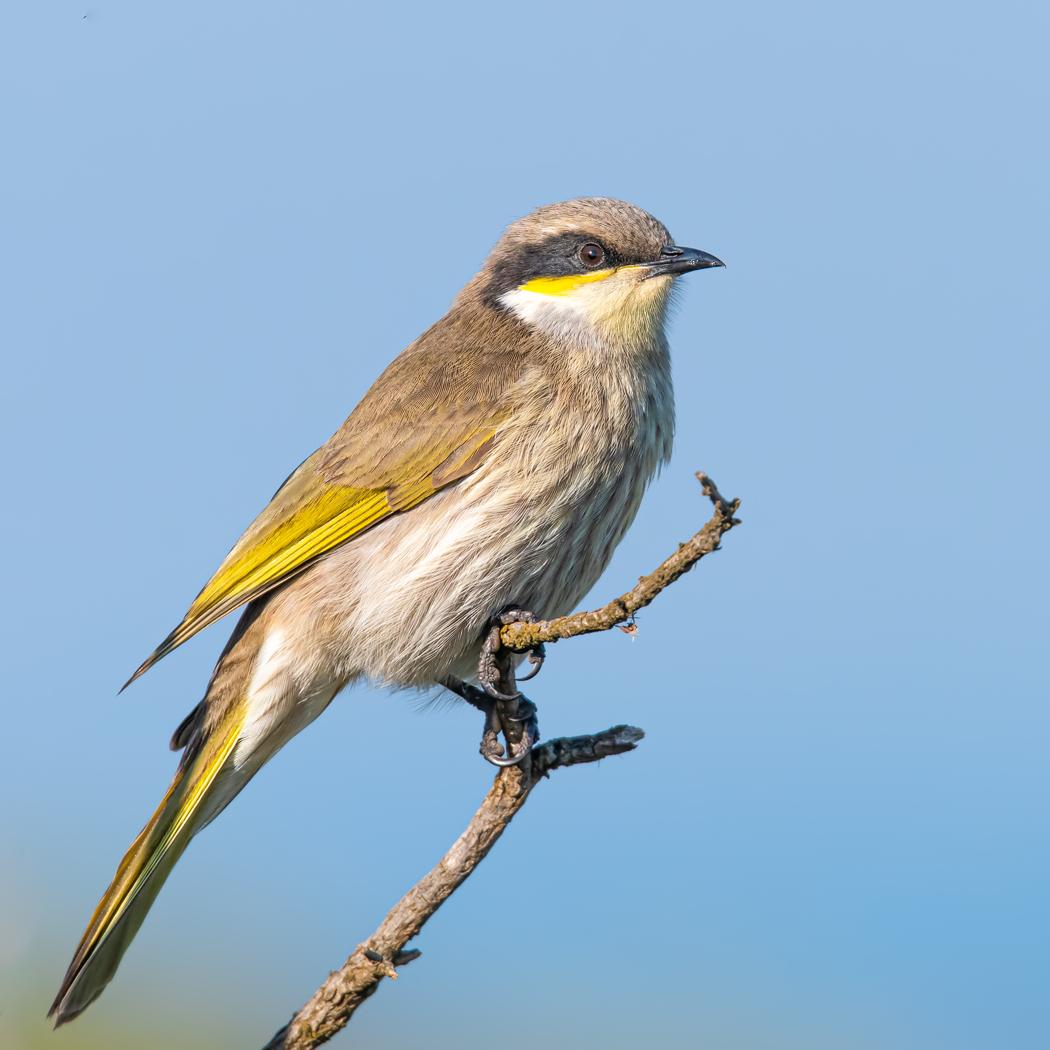 Singing Honeyeater (Image ID 38131)
