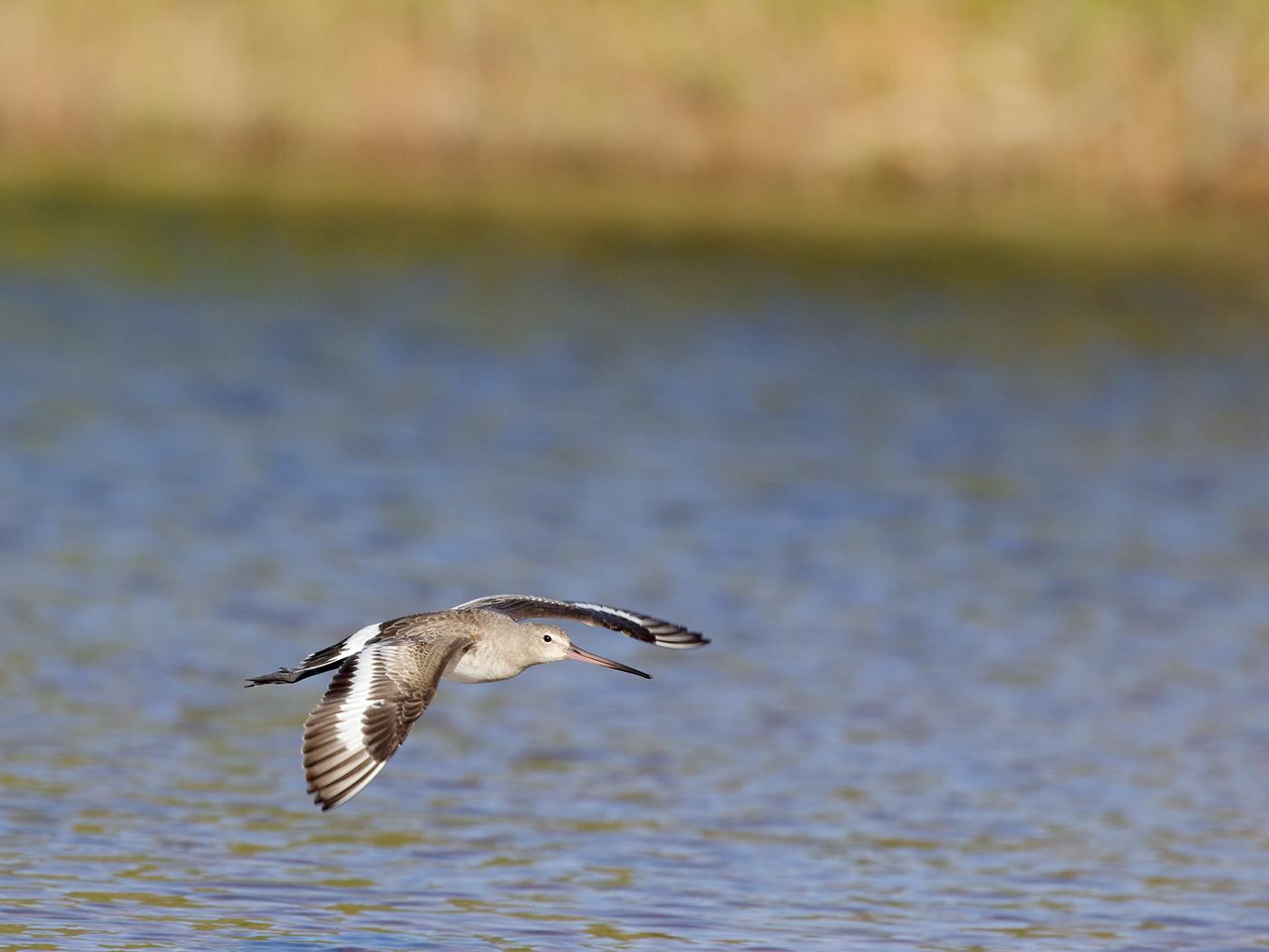 Black-tailed Godwit (Image ID 38154)