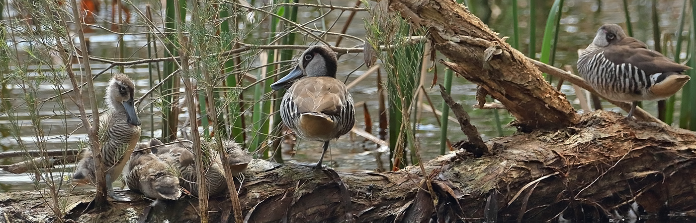 Pink-eared Duck (Image ID 38055)