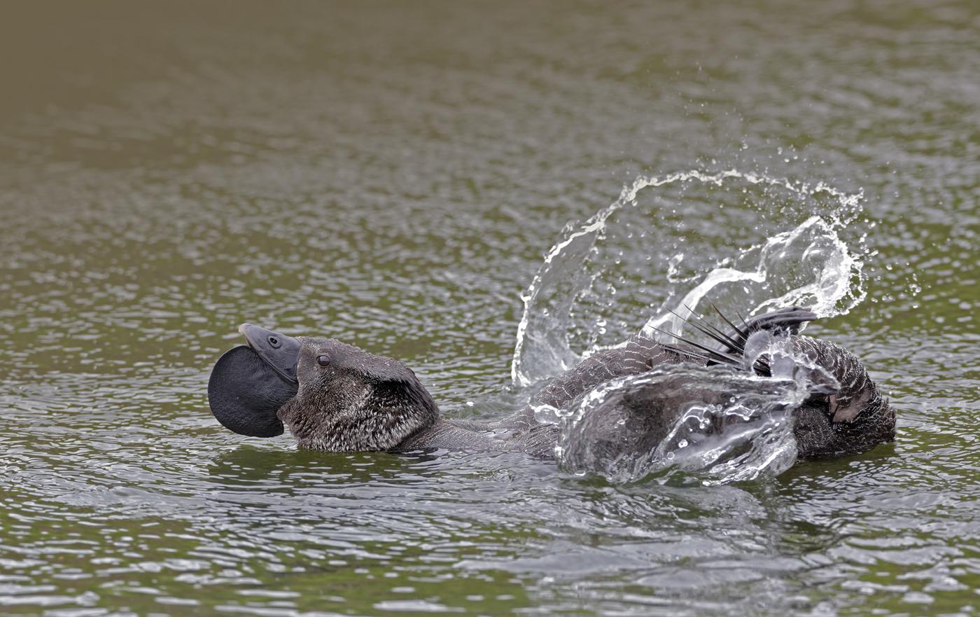 Musk Duck (Image ID 38452)