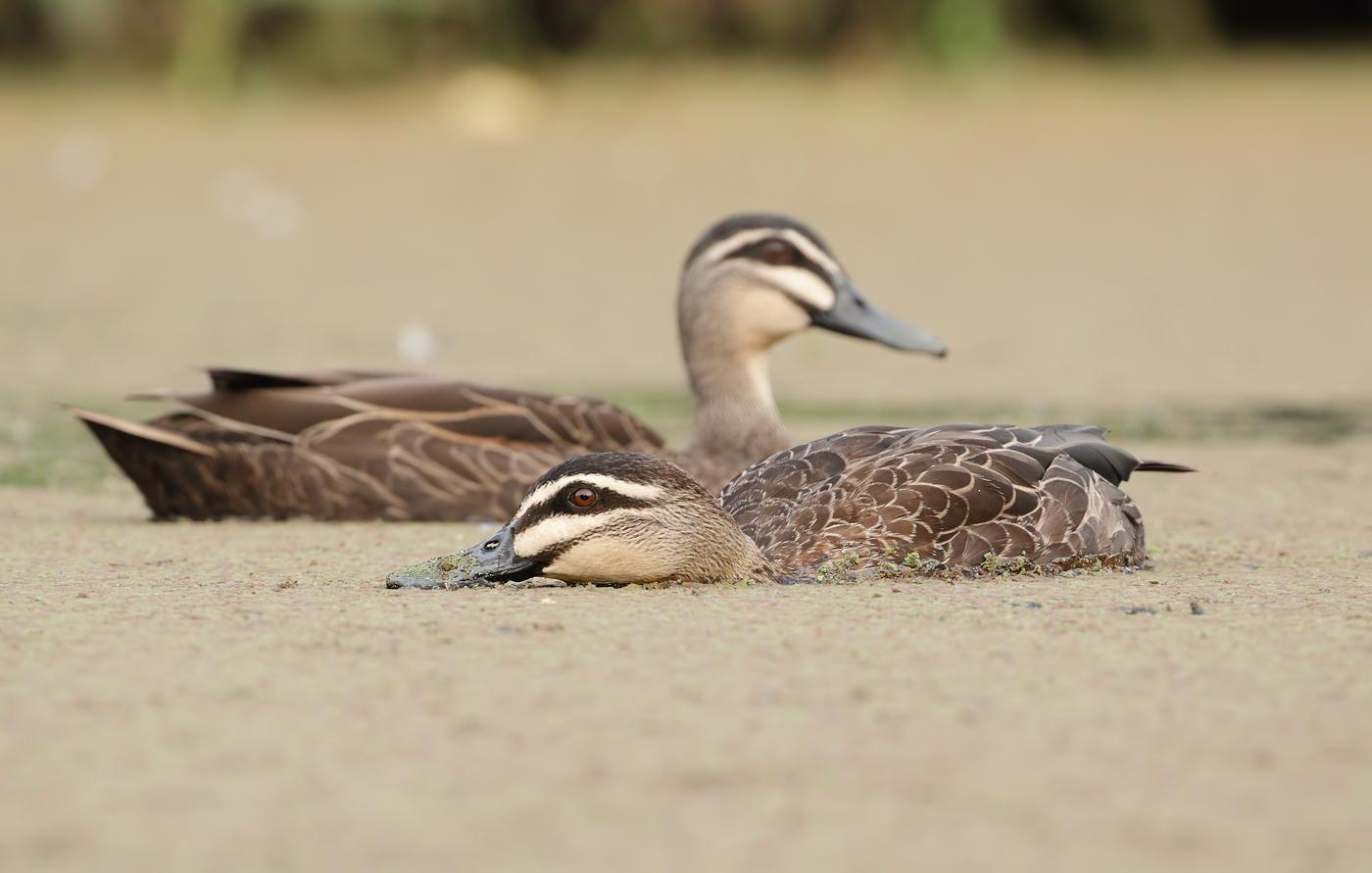 Pacific Black Duck (Image ID 38578)