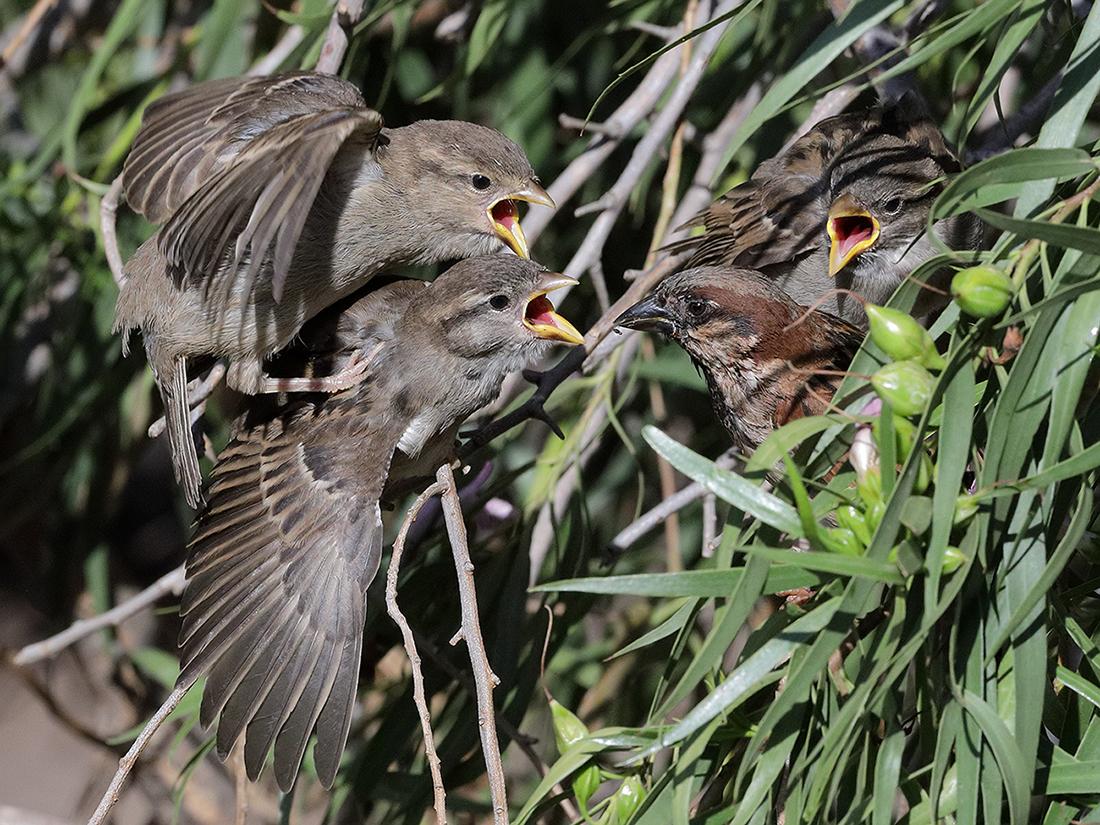 House Sparrow (Image ID 38978)