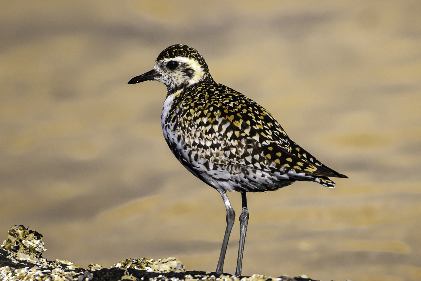Pacific Golden Plover (Image ID 38705)