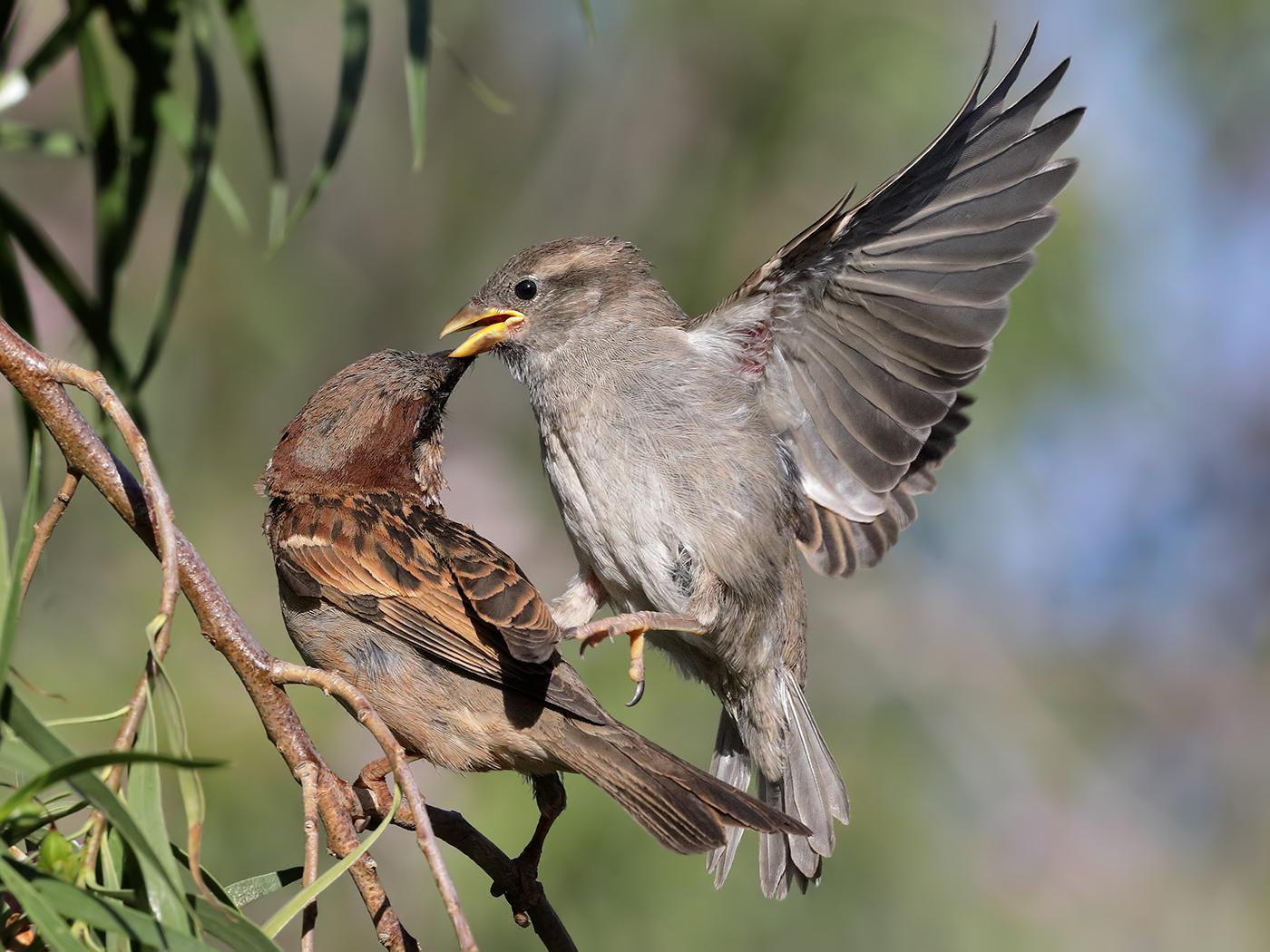 House Sparrow (Image ID 38981)