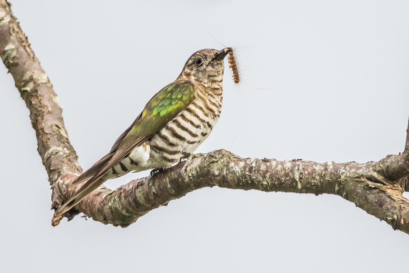 Shining Bronze-Cuckoo (Image ID 38585)