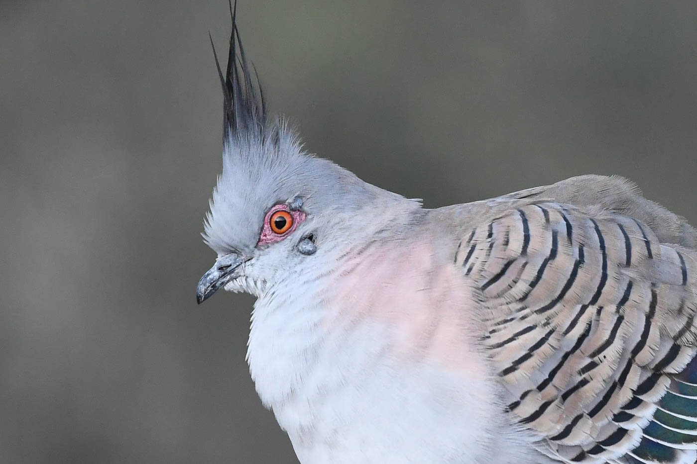 Crested Pigeon (Image ID 39267)